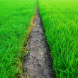 A green paddy field in Thailand — Stock Photo