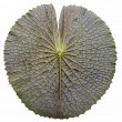 Texture of Victoria lotus leaf — Stock Photo