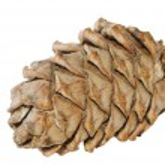 Pine cone on white background — Stock Photo
