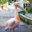 Royalty-Free Stock Photo: Pink Pelican