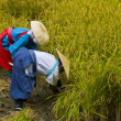 Rice harvest ceremony — Stock Photo