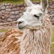 Royalty-Free Stock Photo: Alpaca