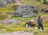 Donkey in peru — Stockfoto