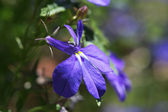 Close-up of purple, violet flowers — Stock Photo