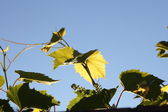 Vineyard - blue sky — Stock Photo