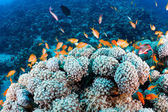 Coral and fishes — Stock Photo