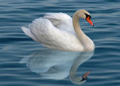 Single swan — Stock Photo