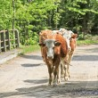 Cows on the road — Stockfoto