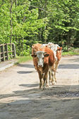 Cows on the road — Stock Photo