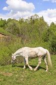Cavallo bianco — Foto Stock