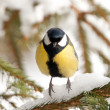 A Great Tit on a pine — Stock Photo
