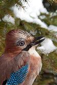 Eurasian Jay — Stock Photo