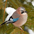Eurasian Jay — Stock Photo