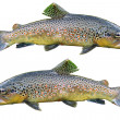 Common trouts — Stock Photo