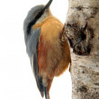 Eurasian Nuthatch — Stock Photo