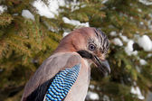 Eurasian Jay — Photo