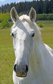 Porträtt av en vit häst — Stockfoto