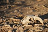 Animal skull — Stock Photo