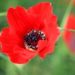 Red poppies on a green background with fresh herbs — Stock Photo
