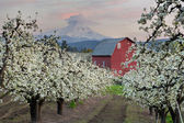Red Barn in Pear Orchard at Hood River — Stock Photo