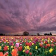Sunset Over Tulip Field — Stock Photo #10225545