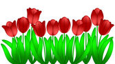 Row of Red Tulips Flowers Isolated on White Background — Stock Photo