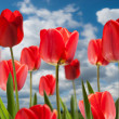 Tulips — Stock Photo #8334937