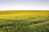 Canola Field under Blue Sky — Stock Photo