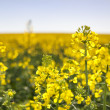 Close up of Canola Field - Stock Photo