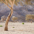 Camels, desert, mountains and acacia trees - Stock Photo