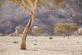 Camels, desert, mountains and acacia trees — Stock Photo