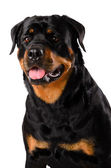 Portrait of young Rottweiler — Stock Photo