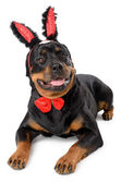 Easter bunny Rottweiler — Stock Photo