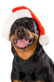 Santa Rottweiler — Stock Photo