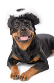 Young pirate Rottweiler — Stock Photo