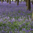 Sea of bluebells — Stock Photo