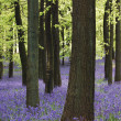 Bluebell carpet - Stock fotografie