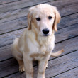 Sad Retriever Puppy Portrait — Stock Photo #10531753