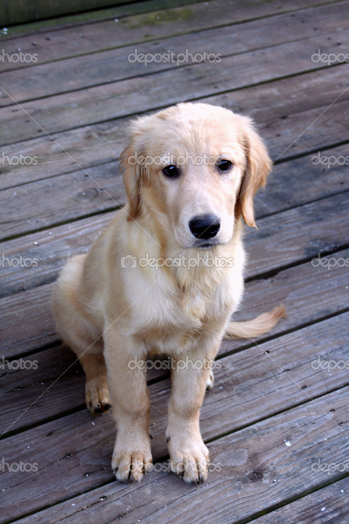 Closeup of a female Golden Retriever puppy with a sad expression, taken outdoors on a wooden deck. — Stock Photo #10531753