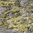 Moss and volcanic rock in iceland — Stock Photo