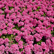 Bright pink flowers in the sunshine — Stock Photo