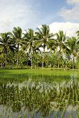 Rice field in bali indonesia — Stock Photo