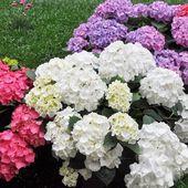 Hortensia flower — Stock Photo