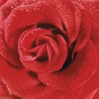 Red rose with water droplets closeup — Stock Photo
