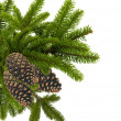 图库照片: Green branch of Christmas tree with cones isolated on white