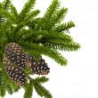 zielonych gałęzi choinki z szyszki na białym tle — Zdjęcie stockowe