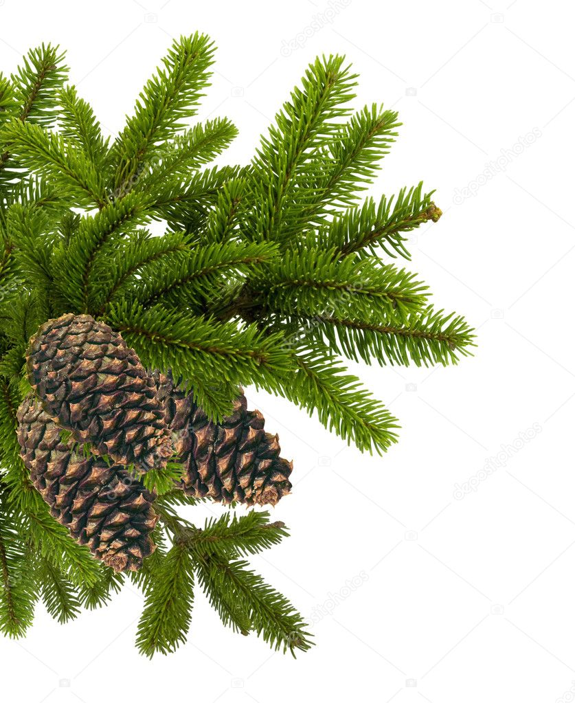 Green branch of Christmas tree with cones isolated on white — Zdjęcie stockowe #7987975