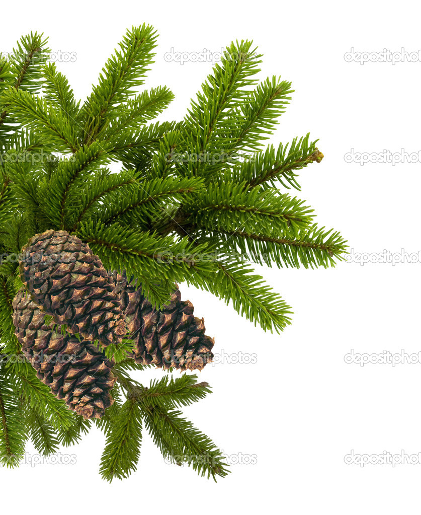 Green branch of Christmas tree with cones isolated on white    #7987975