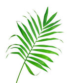 Green leaf of fern isolated on white — Stock Photo