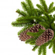 Branch of Christmas tree with cones isolated on white - Stockfoto